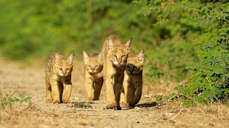 Опасная экспедиция, или Дикий-предикий камышовый кот животные,из жизни,Истории из жизни,позитив,Хохмы-байки