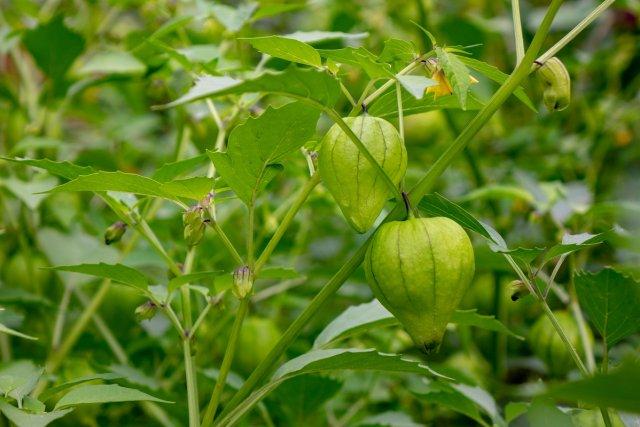 9 причин посадить физалис на дачном участке огород