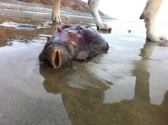 Странное существо нашли на пляже недалеко от АЭС Сан-Онофре Тайны и мифы